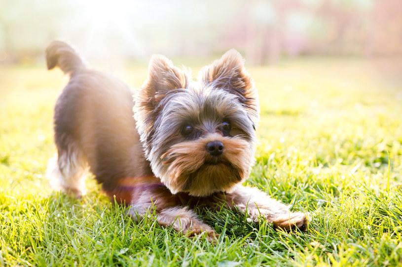 Yorkshire terrier: Leżenie na kanapie nie należy do jego ulubionych zajęć /123RF/PICSEL
