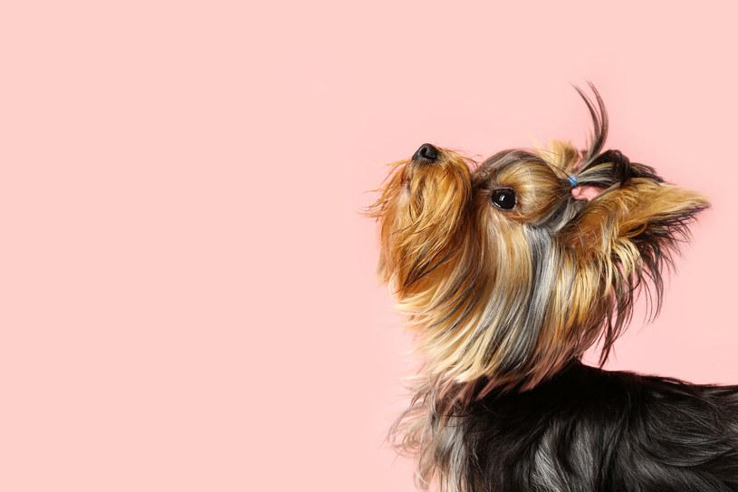 Yorkshire Terrier to piesek bardzo rodzinny, ale niezwykle delikatny /123RF/PICSEL