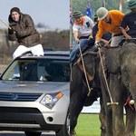Z braku słoni jeżdżą na SUV-ach