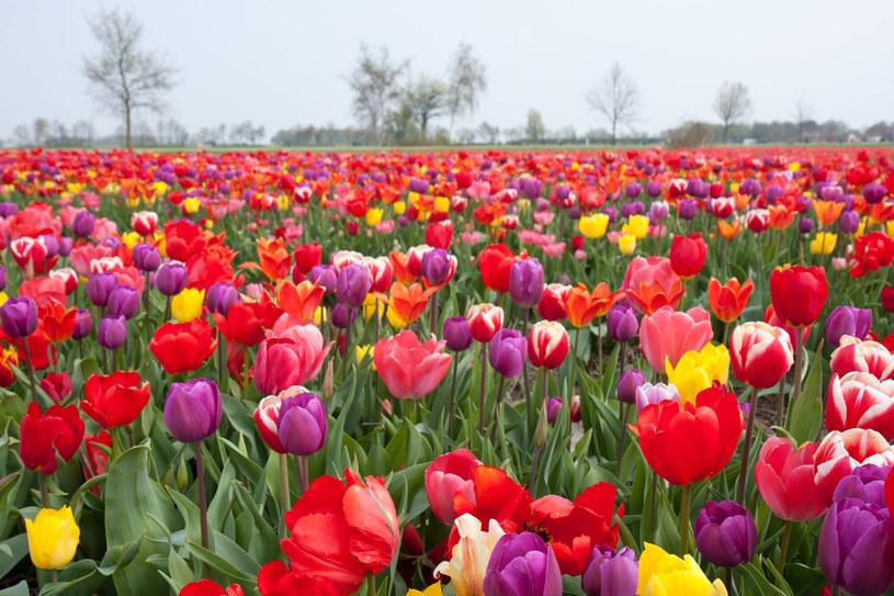 Z cebulek zaprawionych jesienią, wiosną wyrosną wspaniałe tulipany /123RF/PICSEL