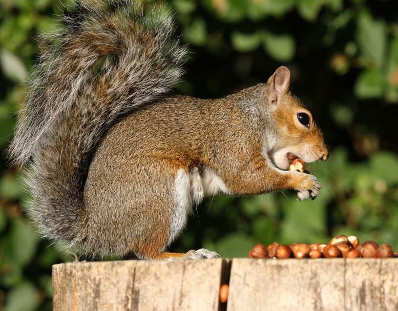 Z dziupli, którą zamieszkiwało rudowłose zwierzątko nieustannie dochodził szelest papierków /123RF/PICSEL