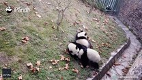 Z górki na pazurki! Turlanie to ulubione zajęcie pand