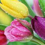 Z jakich tulipanów robić bukiety