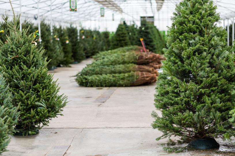 Z jakiego drzewka będziesz mieć choinkę w tym roku? /123RF/PICSEL