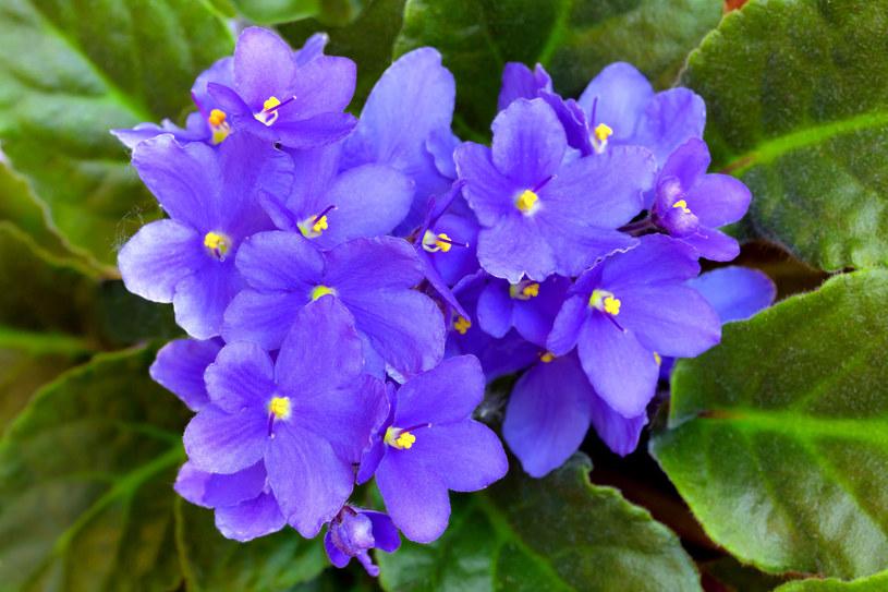 Z liści i kwiatów fiołka przygotujesz lek na zatokowy ból głowy /123RF/PICSEL