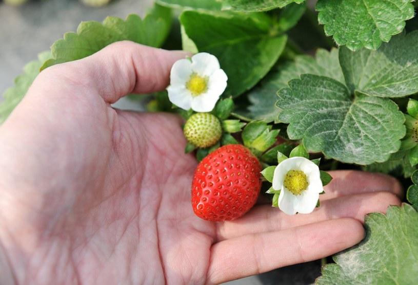 Z liści truskawek warto przygotować napar /123RF/PICSEL