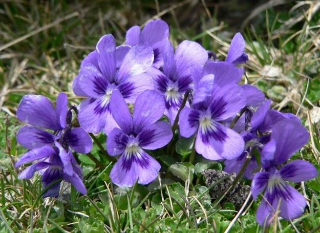 Z listków i kwiatów fiołka stworzysz krem do walki z uporczywymi torbielami /123RF/PICSEL