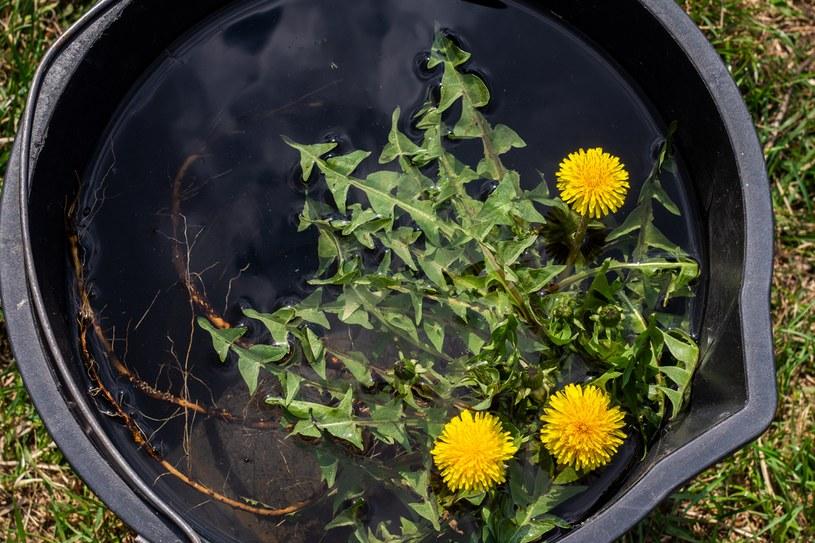 Z mniszka lekarskiego przygotuj gnojówkę /123RF/PICSEL