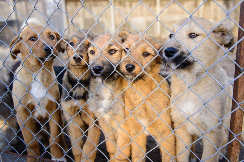 Z powodu pandemii adopcje ograniczone są do psów spokojnych, bez problemów behawioralnych /123RF/PICSEL