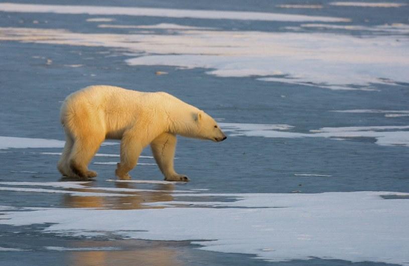 Z powodu zmniejszającej się pokrywy lodowej Arktyki ucierpią m.in. niedźwiedzie /AFP