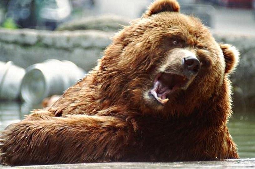 Z zimowego snu wybudzają się niedźwiedzie /© Bauer