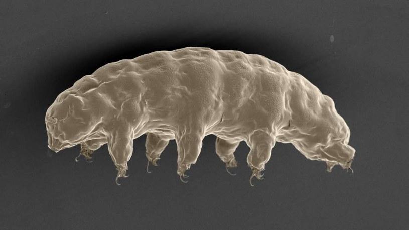 Za odpornością niesporczaków kryje się białko o nazwie Dsup /materiały prasowe