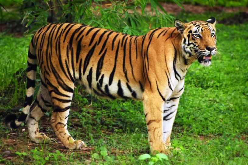 Zaatakowali tygrysy /123RF/PICSEL