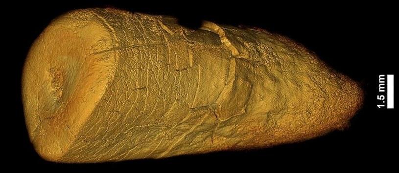 Ząb neandertalczyka z Les Cottés we Francji /materiały prasowe