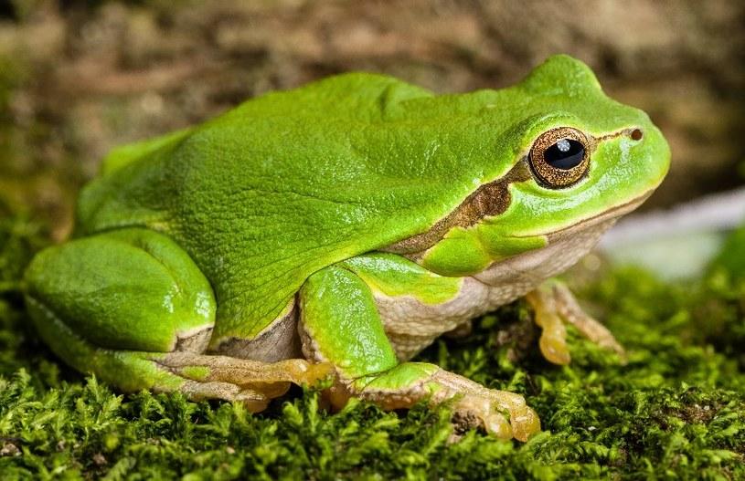 Żaba kojarzy się z bajkami /©123RF/PICSEL