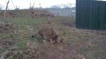 Zabawa małych jaguarów. Urocze