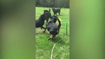 Zabawa na całego. Rottweilery odkryły w ogrodzie nową zabawkę