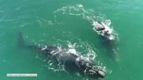Zabawa wielorybów u wybrzeży Kapsztadu