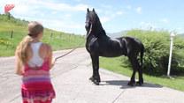Zabawna reakcja konia na... figurę
