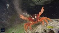 Zabawne ruchy kraba. O co chodzi?