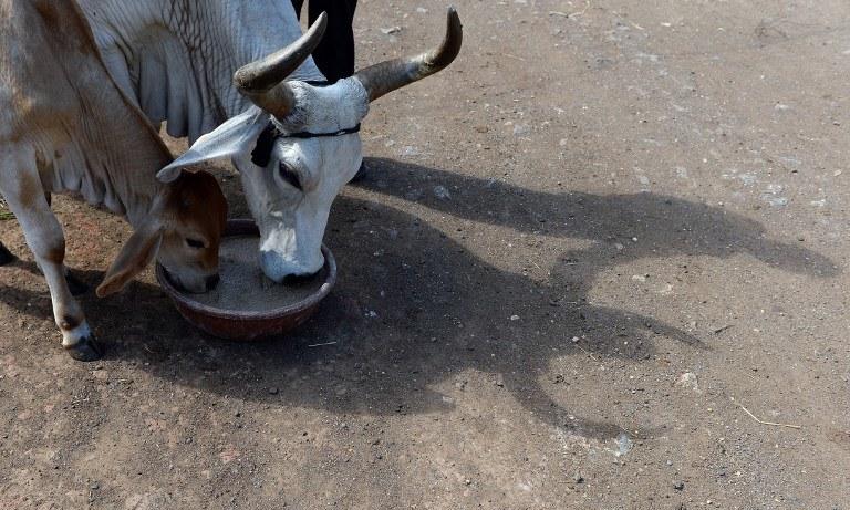 Zabijanie krów jest w Indiach zabronione /AFP