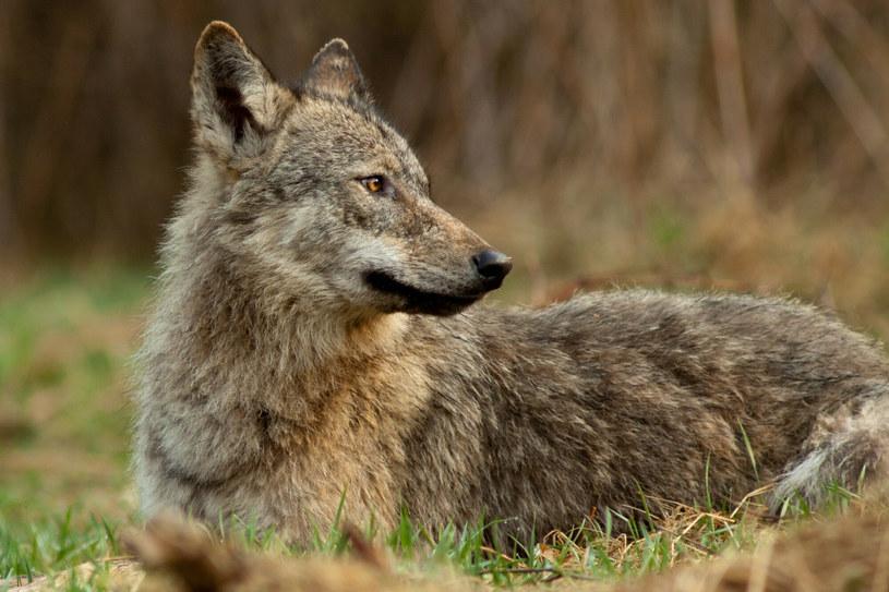 """""""Zabijanie wilków, strzelanie do nich i poddawanie ich presji człowieka wcale nie generuje u nich strachu"""" /Adrian Slazok/REPORTER /East News"""