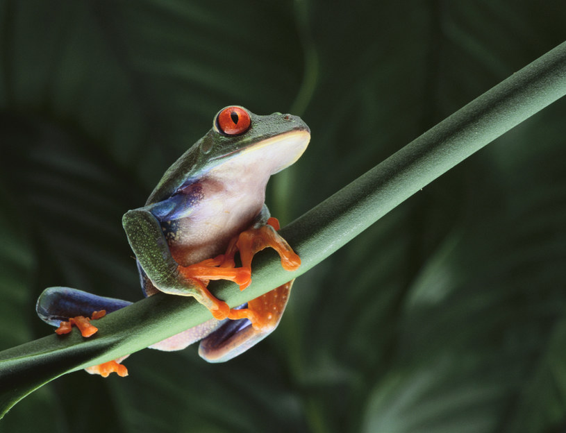 Żaby swoją ewolucję zawdzięczają wymarciu dinozaurów /© Glowimages