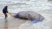 Zachodniopomorskie: Martwy wieloryb pozostanie na plaży do poniedziałku