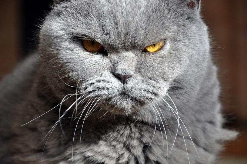 Zachowanie kota może nas czasem dziwić. Warto wiedzieć, co może ono oznaczać /123RF/PICSEL