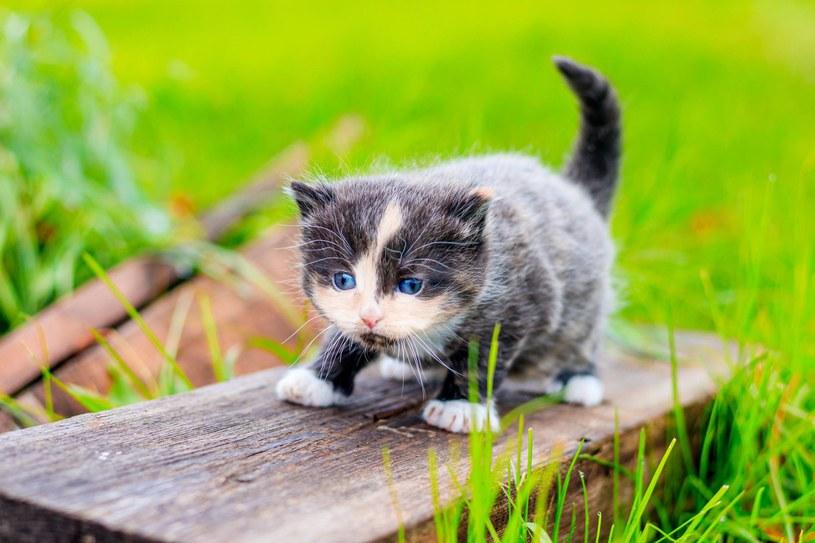 Zachowuje się niczm mały kociak! /123RF/PICSEL