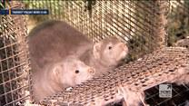 """Zaczęło się od nietoperza. """"Raport"""" Polsat News o koronawirusie wśród zwierząt"""