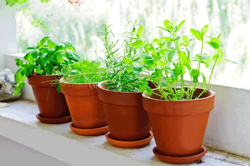 Zadbaj o zioła, korzystać z nich dłużej /123RF/PICSEL