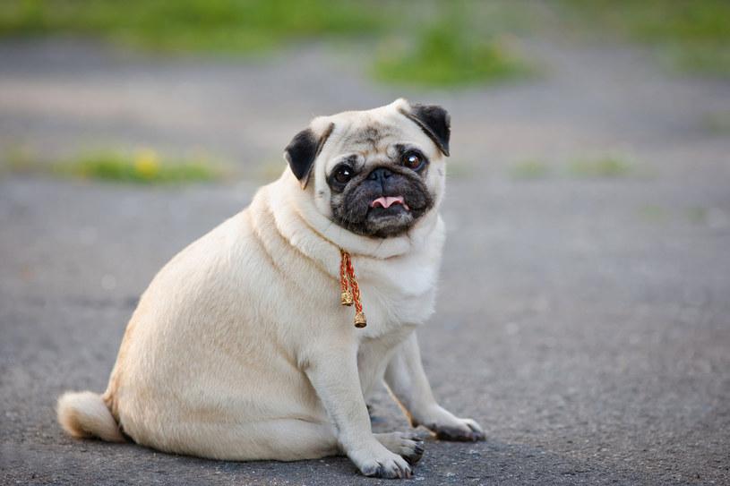 Zadbajmy o bezpieczne tempo spadku wagi naszego psa /123RF/PICSEL