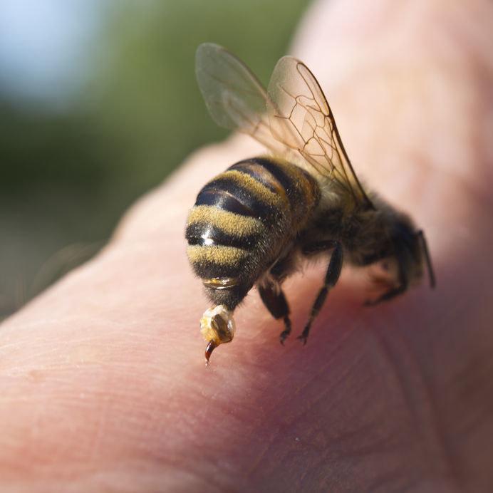 Żądło pszczoły /©123RF/PICSEL