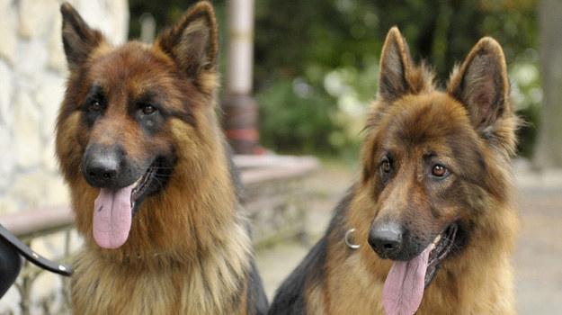 Zaginął jeden z psów, który wcielał się w tytułowego Aleksa! / Piętka Mieszko  /AKPA