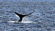 Zagraj - uratuj wieloryby!