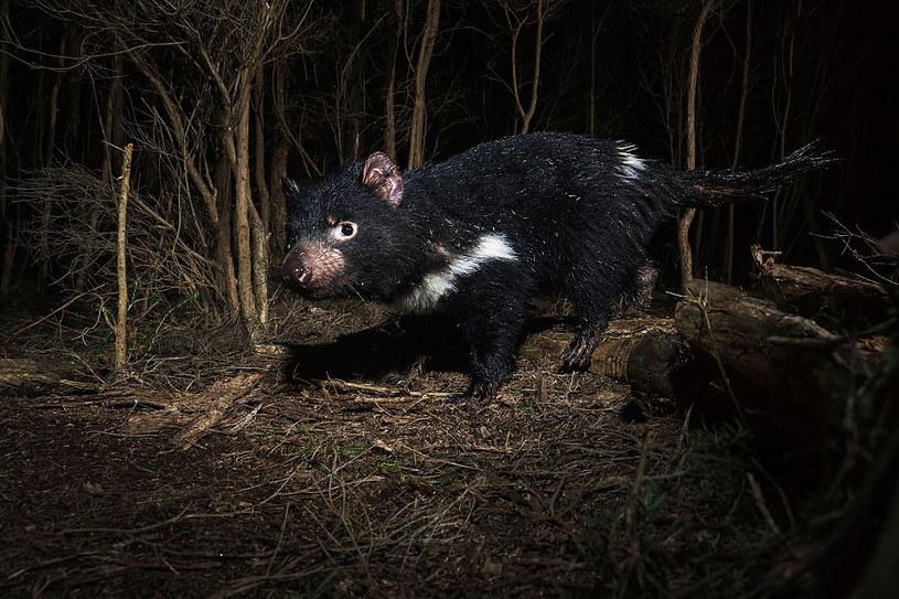 Zagrożone wyginięciem diabły tasmańskie zamieszkują obecnie australijską wyspę Tasmania /HEATH HOLDEN    /Getty Images