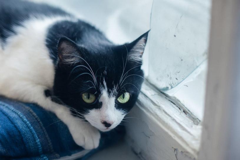 Zainfekowane pasożytami koty są bardzo często osowiałe /123RF/PICSEL