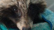Zakaz hodowania zwierząt na futra? Projekt podzielił polityków PiS