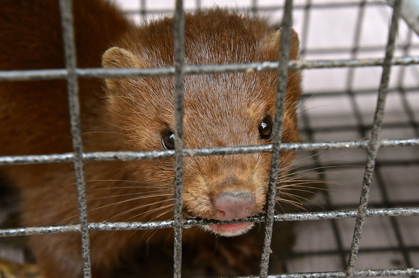 Zakaz hodowli norek w Danii przedłużony o rok /123RF/PICSEL