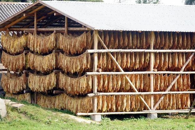 Zakaz mocno uderzyłby w plantatorów uprawiających tytoń odmiany Burley. Fot. Witold Rozbicki /Reporter