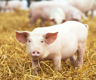 Zakaz wwozu wieprzowiny z Polski na Białoruś