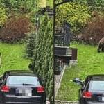 Zakopane: Niedźwiedź grasował po ulicach miasta