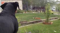 Zakradł się na podwórko i zabrał zabawkę. Pies musiał na to patrzeć zza okna