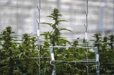 Zalegalizowali marihuanę. Efekt?