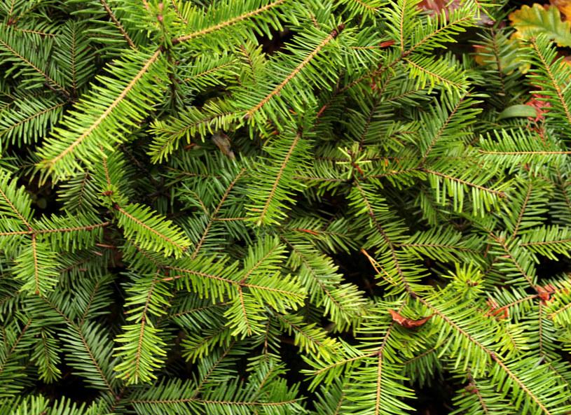 Zamiast Bałtyku lasy iglaste? Tak, jeśli często się przeziębiasz i szukasz spokoju! /123RF/PICSEL