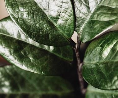 Zamiokulkas: Rośnie bujnie nawet w najgorszych warunkach