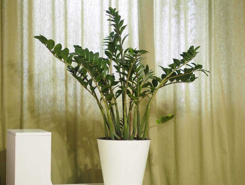 Zamiokulkas to żelazna roślina odporna nawet na najgorsze warunki /123RF/PICSEL