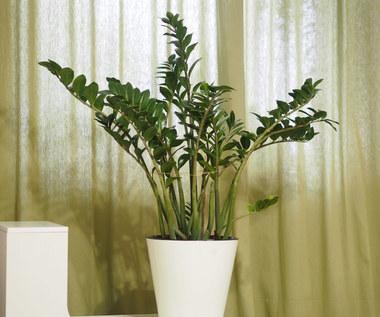 Zamiokulkas zamiolistny: Żelazna roślina idealna do sypialni i łazienki