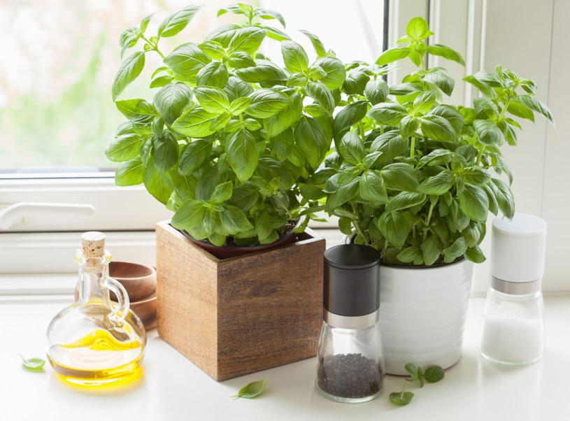 Zapach bazylii może zapobiec migrenie /123RF/PICSEL